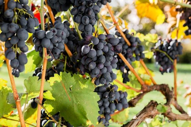 잘 익은 포도 나무 야외에 검은 포도의 움 큼. 가을 포도는 와인을 만들기 위해 포도원에서 수확합니다.