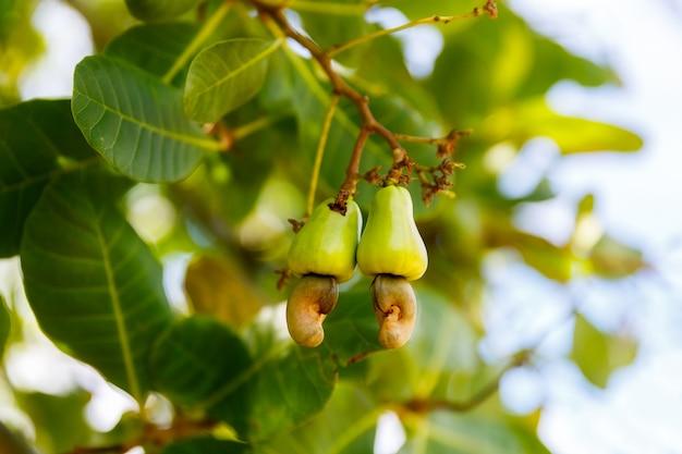 Спелые орехи кешью anacardium occidentale растут на ветке дерева в саду
