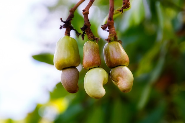 Ripe cashew nuts anacardium occidentale grow on a tree branch in the garden