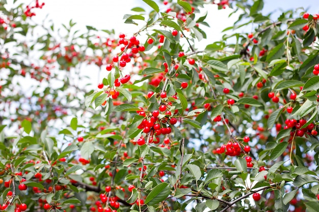 Ripe cher.red ripe cherries on a branch of a cherry tree on a background of green leaves and blue sky. harvest. natural product