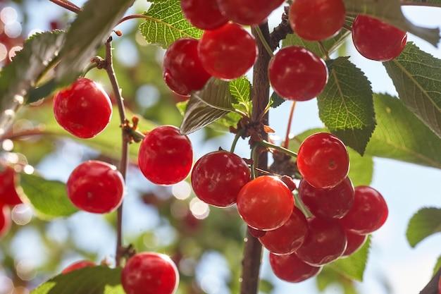 桜の枝からぶら下がっている熟したサクランボ