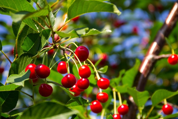 정원의 나뭇가지에 익은 체리 열매