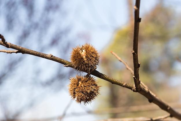 Спелые плоды каштана на ветке дерева