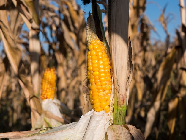 Ripe corn on the cob in cultivated cornfield waiting for harvest