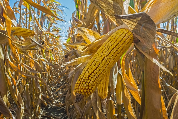 Ripe corn cobs in the field, full of large grain, against the sky
