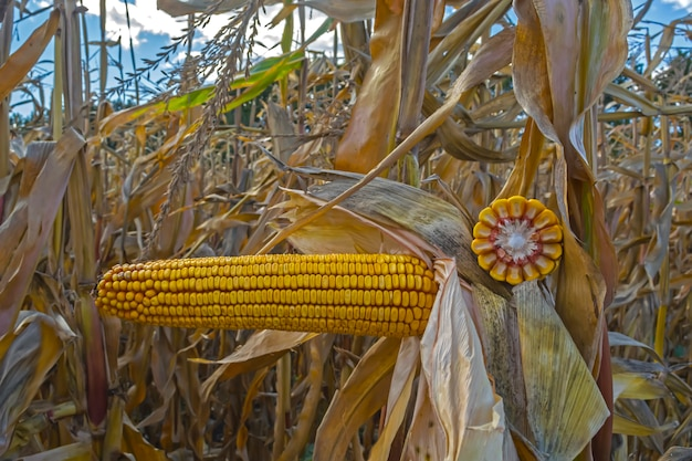 Ripe corn cobs in the field, full of large grain, against the sky.