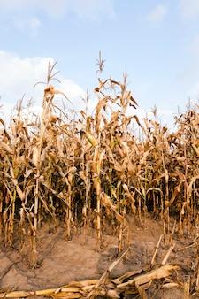 농업 분야에서 익은 옥수수-키가 큰 줄기는 농업 분야에서 마른 옥수수를 성숙시킵니다. 클로즈업 촬영.