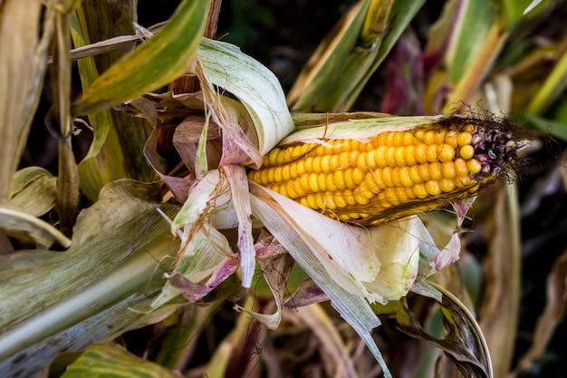 Зрелая кукуруза в початках. поле кукурузы. летний пейзаж. концепция сельского хозяйства. кукуруза готова к сбору урожая.