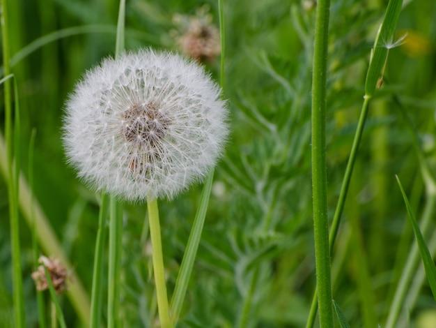 緑の草を背景に熟したタンポポ。閉じる
