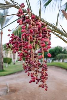 Спелые финики на финиковой пальме. плод в дикой природе. фото высокого качества