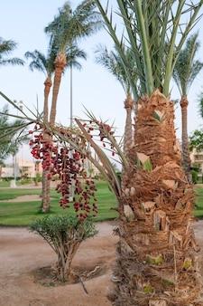 ナツメヤシの熟した日付。野生の果物。高品質の写真