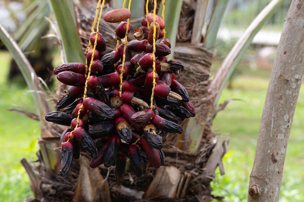 Ripe dates palm fruit with branches on dates palm tree