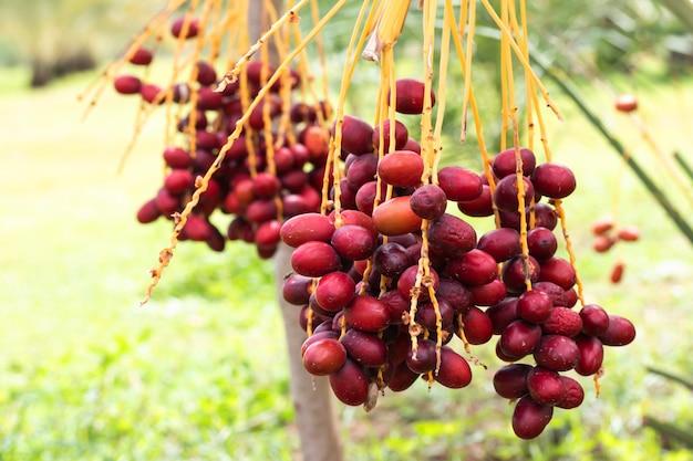 熟したナツメヤシの木に枝を持つ枝の果実