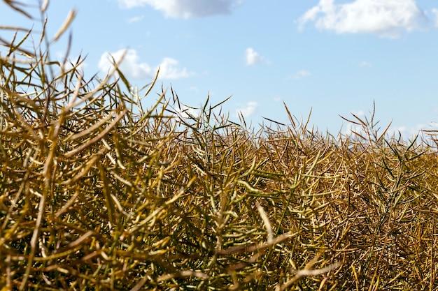 Спелый сухой рапс на поле перед сбором урожая масличных культур, крупным планом на фоне голубого неба