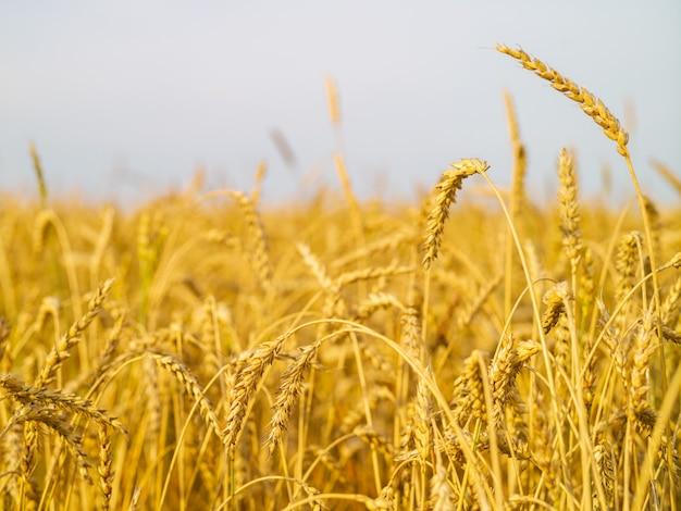 晴れた日に畑で新しい作物の熟した耳