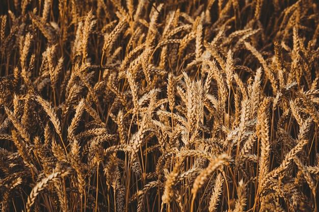 Зрелые колосья пшеницы в поле.