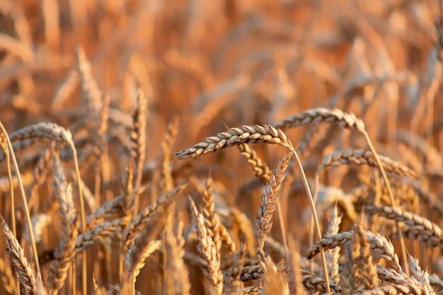 Зрелые колосья пшеницы. естественный оранжевый фон или текстура. крупный план. зерновая культура готова к сбору.