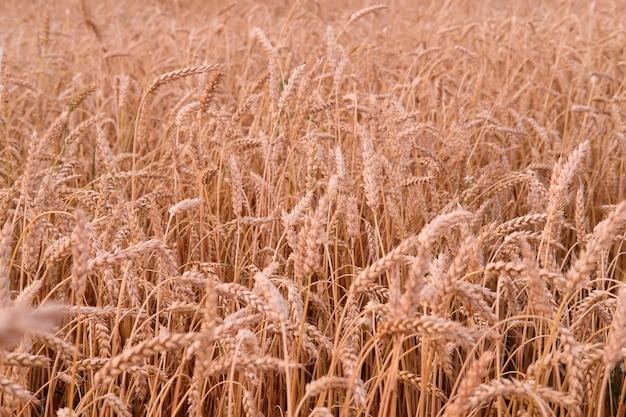 太陽の夕方の空の夕日に照らされた熟した牧草地の小麦オーツ麦の熟した耳