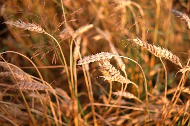 太陽に照らされた熟した牧草地の小麦オーツ麦の熟した穂