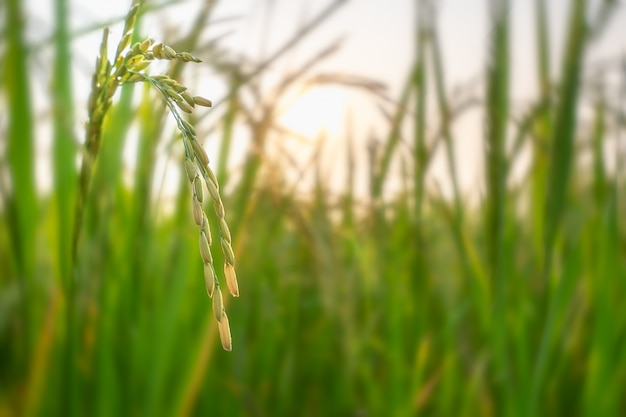 Ripe ears of rice in paddy rice field under sunset sky background.