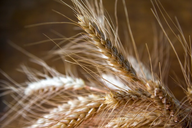 Ripe ears of wheat close up, dry yellow cereals spikelets on dark blurred background.