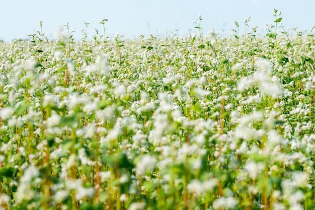 익은 꽃 메밀 밭