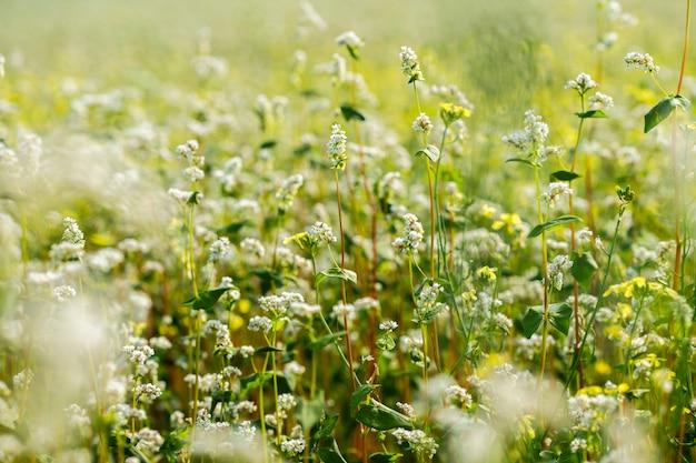 Ripe flowering buckwheat field