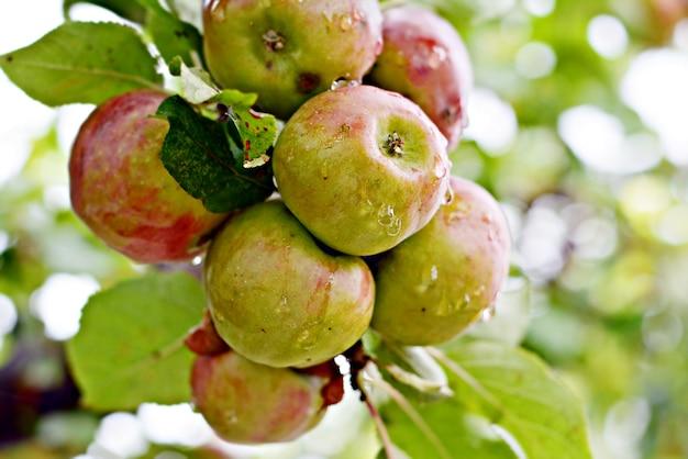 Спелые свежие яблоки на ветке с листвой.