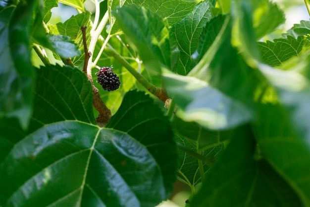 Ripe and fresh fruits of black mulberry ripened on a tree branch.