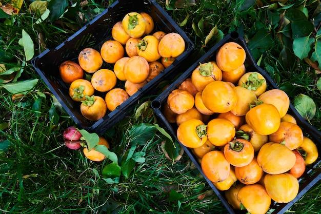 바구니에 녹색 잎과 함께 익은 갓 고른 오렌지 감. 가을 수확 시즌