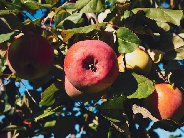 Спелые садовые яблоки на крупном плане зеленой ветви.