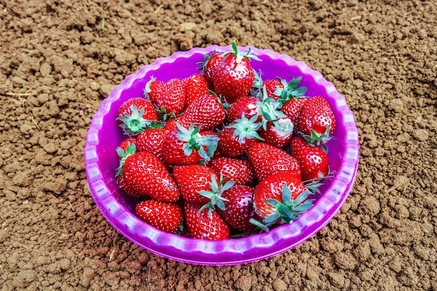 Ripe garden edible strawberries in a purple bowl dish, standing on loamy ground