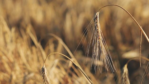 Спелые золотые колосья ячменя в поле. уши ячменя. колоски. зерновые культуры. закройте вверх. макро.