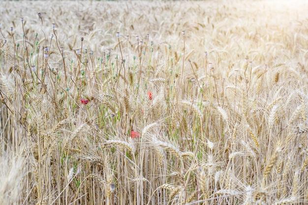 熟した黄金の麦畑。秋、収穫のコンセプトです。
