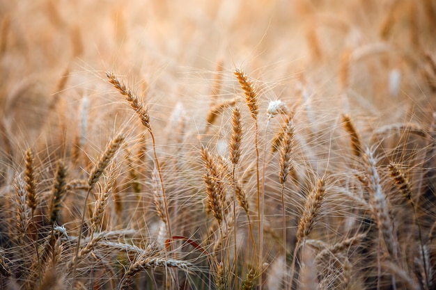 熟した黄金の麦畑