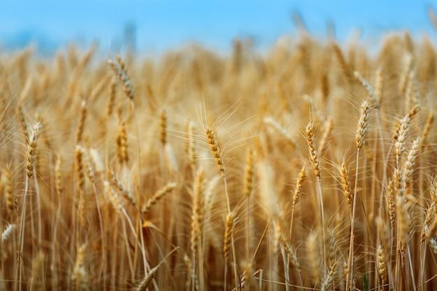 熟した黄金の小麦や日没時の自然の背景に大麦
