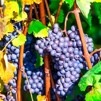 Ripe grape close up. autumn harvest. plantation of piemonte, italy