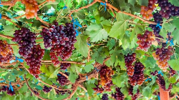 Спелый виноград готов к сбору