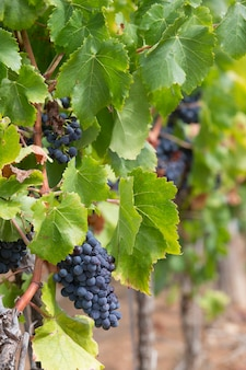 Ripe grapevine for red wine in the valley