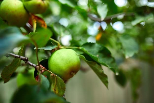木、りんごの木の枝に熟した青リンゴ果実