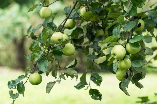 木の枝に熟した青リンゴ