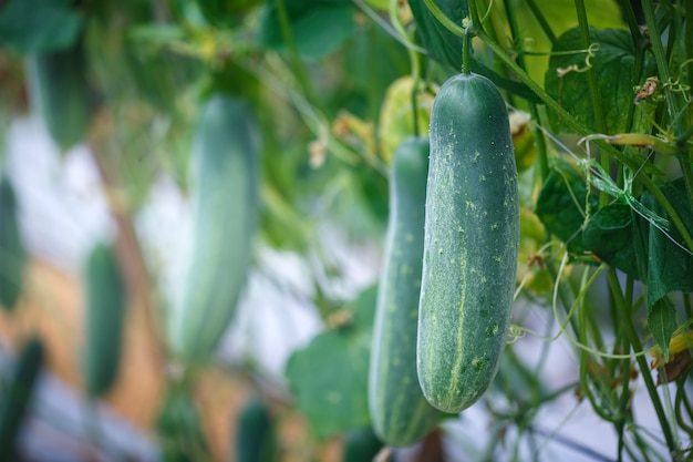 菜園で成長している熟した緑のきゅうり