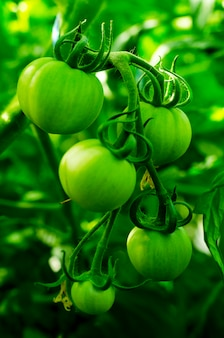 Ripe green tomatoes on bush. studio photo