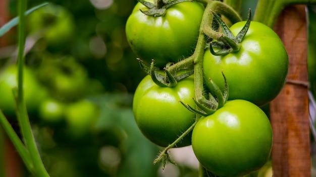 온실에서 덤불에 토마토의 익은 수확.
