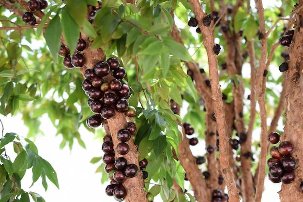 나무에 익은 jabuticaba. 자보티카바는 브라질 토종 포도입니다.