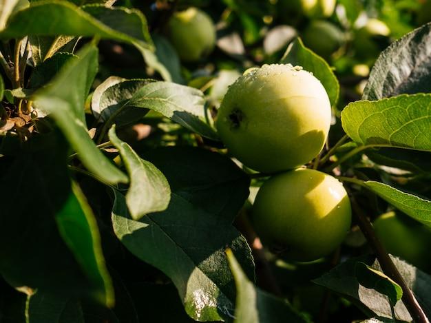 Спелые, сочные яблоки висят на ветке. яблоки с каплями дождя