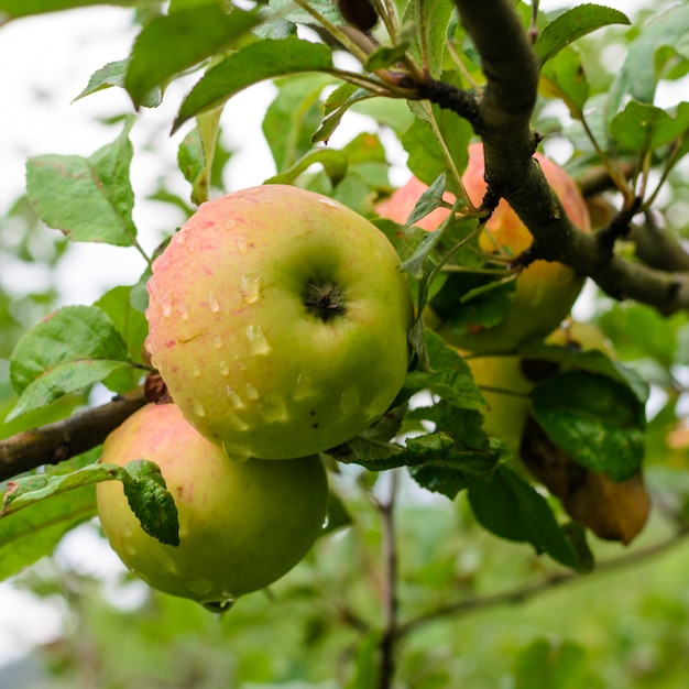 Ripe juicy apples hanging on a tree
