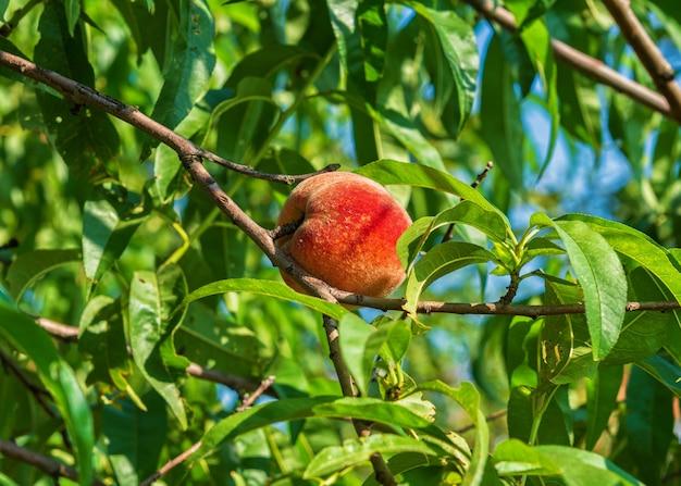 Ripe juicy peach on a tree branch