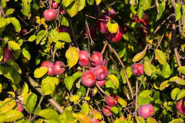 Ripe and juicy red apples are suspended from a tree.