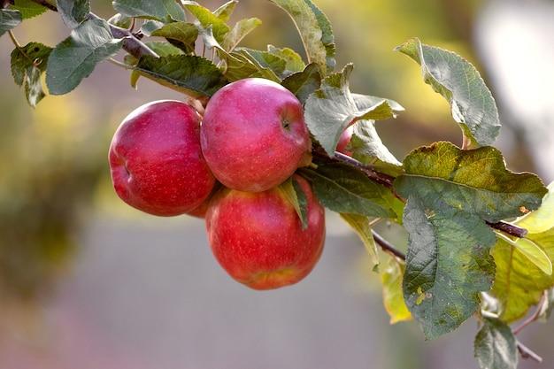 木の庭で熟したジューシーな赤いリンゴ。成長するリンゴ